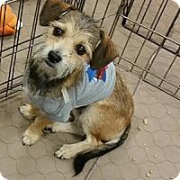 Adopt A Pet :: Custard - 7 lb cutie - Phoenix, AZ