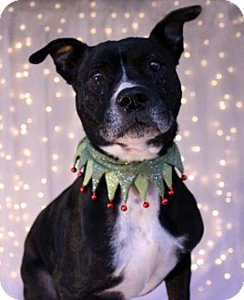 American Pit Bull Terrier Dog for adoption in Phoenix, Arizona - Deuce