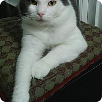 Domestic Shorthair Cat for adoption in Atlanta, Georgia - Rupert