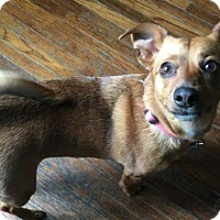 Adopt A Pet :: Shelley - Bellbrook, OH