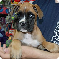 Adopt A Pet :: Norbert - Brooklyn, NY