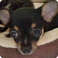 Adopt A Pet :: Dorie/Adoption PENDING - Hillside, IL