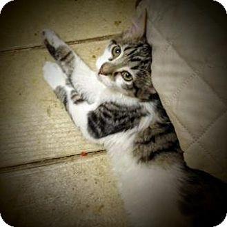 Domestic Mediumhair Kitten for adoption in Weimar, California - Dorian