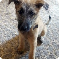 Shepherd (Unknown Type) Mix Puppy for adoption in Detroit, Michigan - Gonzo-Adopted!