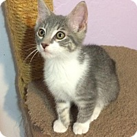 Domestic Shorthair Kitten for adoption in Tampa, Florida - Cooper