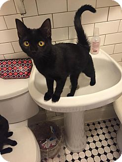 Domestic Shorthair Kitten for adoption in Denver, Colorado - Cat-Pretty
