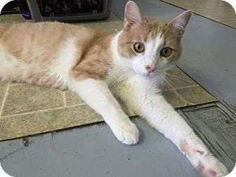 Domestic Shorthair Cat for adoption in Fort Collins, Colorado - Bailey
