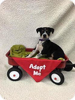 Labrador Retriever/Australian Shepherd Mix Puppy for adoption in Plainfield, Illinois - Bush