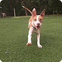 Adopt A Pet :: Rocket - Baltimore, MD