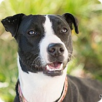 Border Collie/Whippet Mix Dog for adoption in boston, Massachusetts - Gwen,love, love love