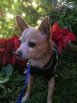 Chihuahua Mix Dog for adoption in Los Banos, California - Drake