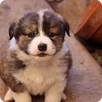 Adopt A Pet :: Rey - Phoenix, AZ