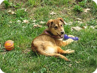 Shepherd (Unknown Type) Mix Dog for adoption in Morgantown, West Virginia - Shiloh
