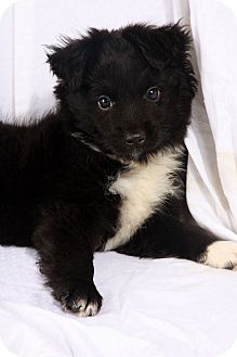 Australian Shepherd Puppy for adoption in St. Louis, Missouri - Gibbs Mini-Aussie