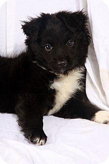 Australian Shepherd Puppy for adoption in St. Louis, Missouri - Gibbs Mini-Aussie