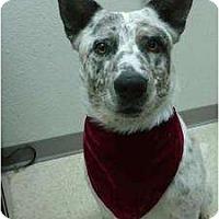 Adopt A Pet :: Spot - Not Available - Phoenix, AZ