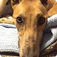 Adopt A Pet :: Dawn - Tucson, AZ