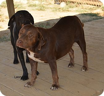 Labrador Retriever Mix Dog for adoption in Grenada, Mississippi - Leon