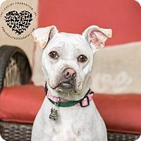 Adopt A Pet :: Maya - Inglewood, CA
