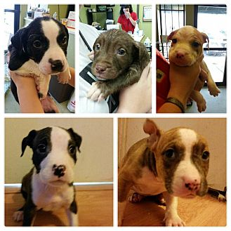 Boston Terrier/Bulldog Mix Puppy for adoption in Fishkill, New York - THE C LITTER