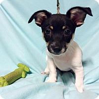 Adopt A Pet :: Baby Pipsqueak (RBF) - Harrisonburg, VA