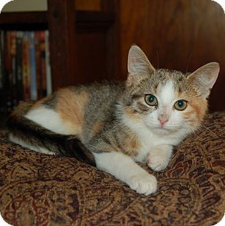 Domestic Shorthair Kitten for adoption in Great Mills, Maryland - Gracie