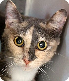 Domestic Shorthair Cat for adoption in Sarasota, Florida - Zahara