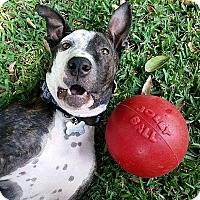 American Staffordshire Terrier/American Staffordshire Terrier Mix Dog for adoption in santa monica, California - Monkey