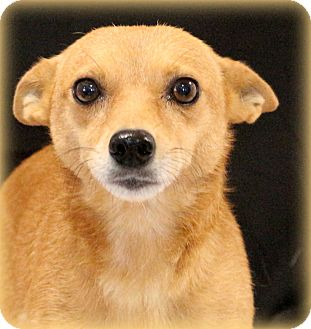 Chihuahua Mix Dog for adoption in Glastonbury, Connecticut - Maddy~adopted!