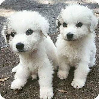 Great Pyrenees Puppy for adoption in Knoxville, Tennessee - Ariel and Sebastian