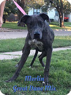 Great Dane/Greyhound Mix Puppy for adoption in Cheney, Kansas - Merlin