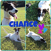 Anatolian Shepherd/Border Collie Mix Puppy for adoption in Franklinville, New Jersey - Chance