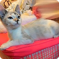 Siamese Kitten for adoption in Chandler, Arizona - Daphne