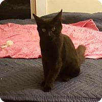 Adopt A Pet :: Scarlett - Charlotte, MI