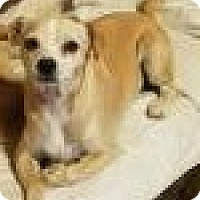 Chihuahua/Jack Russell Terrier Mix Dog for adoption in San Antonio, Texas - Josh