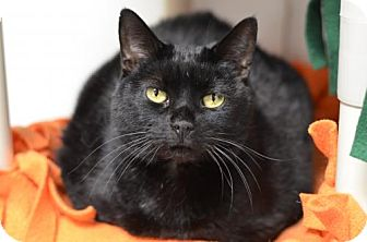 Domestic Shorthair Cat for adoption in Atlanta, Georgia - Midnight Dream161538