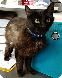 Domestic Mediumhair Cat for adoption in Basehor, Kansas - Cinder