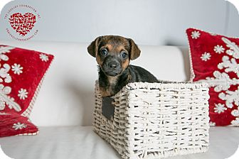 Chihuahua/Terrier (Unknown Type, Small) Mix Puppy for adoption in Inglewood, California - Zoe