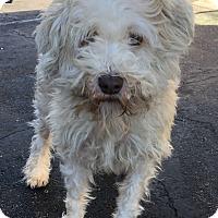 Adopt A Pet :: Toby - Tucson, AZ