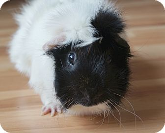 Guinea Pig for adoption in Brooklyn Park, Minnesota - Monte