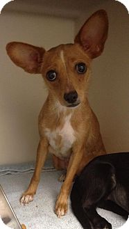 Chihuahua Mix Dog for adoption in Breinigsville, Pennsylvania - Cindy