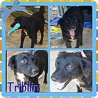 Adopt A Pet :: Tribilin - Toa Alta, PR