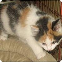 Adopt A Pet :: Cupcake - Acme, PA