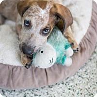 Adopt A Pet :: Austin - Bradenton, FL