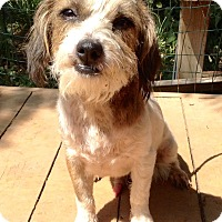 Jack Russell Terrier/Cairn Terrier Mix Dog for adoption in Santa Ana, California - Opie