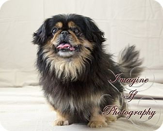 Pekingese Mix Dog for adoption in Oklahoma City, Oklahoma - Toby