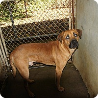 Labrador Retriever Mix Dog for adoption in Henderson, North Carolina - Buddy*