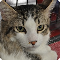 Adopt A Pet :: Tigger - La Canada Flintridge, CA