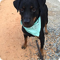 Rottweiler Dog for adoption in Pacolet, South Carolina - MADDIE - DONATE