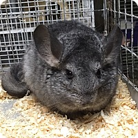 Adopt A Pet :: Lumpy - Hammond, IN